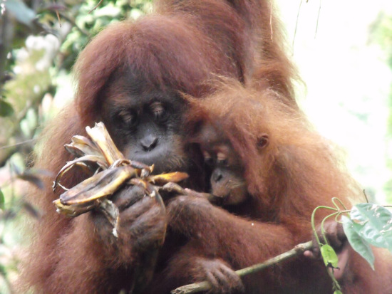Orangutans in Sumatra. Image by muymia
