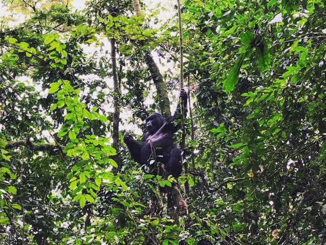 Silver Back Bwindi National Park